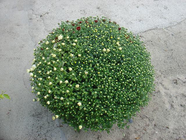 ΧΡΥΣΑΝΘΕΜΟ - Chrysanthemum