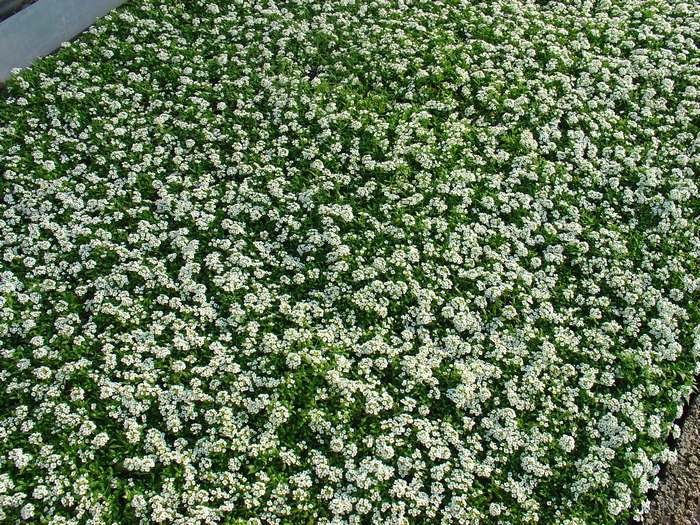 Αλυσος - Alyssum (lobularia maritima)