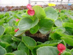 Παραγωγή Εποχιακών Φυτών Βιγονια (μπιγκονια) - Begonia