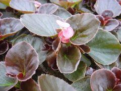 Begonia Βιγονια
