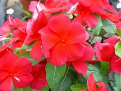 Παραγωγή Εποχιακών Φυτών Βιγκα - Vinca-CATHARANTHUS Φυτώρια Κομιτουδης Χάρης