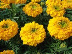 Παραγωγή Εποχιακών Φυτών Κατηφές - Tagetes Φυτώρια Κομιτουδης Χάρης