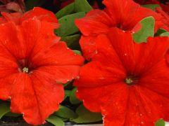 Παραγωγή Εποχιακών Φυτών Πετούνια - Petunia