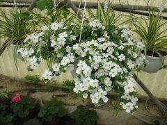 Παραγωγή Εποχιακών Φυτών Μπακόπα - Bacopa Φυτώρια Κομιτουδης Χάρης