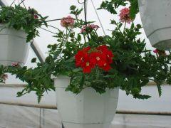 Παραγωγή Εποχιακών Φυτών  Βερβένα - Verbena Φυτώρια Κομιτουδης Χάρης