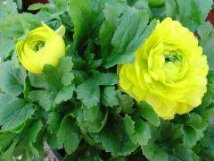 Παραγωγή Εποχιακών Φυτών ΝΕΡΑΓΚΟΥΛΑ - Ranunculus