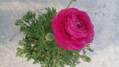 Παραγωγή Εποχιακών Φυτών ΝΕΡΑΓΚΟΥΛΑ - Ranunculus Φυτώρια Κομιτουδης Χάρης