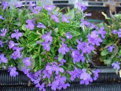 Παραγωγή Εποχιακών Φυτών Λομπέλια - Lobelia Φυτώρια Κομιτουδης Χάρης