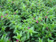Παραγωγή Εποχιακών Φυτών ΚΟΦΕΑ - Cuphea Φυτώρια Κομιτουδης Χάρης