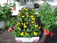 Παραγωγή Εποχιακών Φυτών Πανσές (Ια) - VIOLA Φυτώρια Κομιτουδης Χάρης