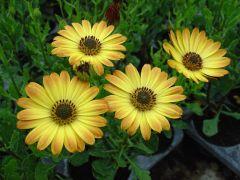 Παραγωγή Εποχιακών Φυτών Οστεόσπερμο - Osteospermum Φυτώρια Κομιτουδης Χάρης