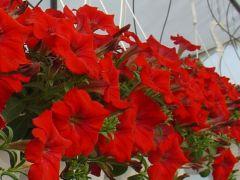 Πετούνια κρεμαστή(Surfinia) Κόκκινη