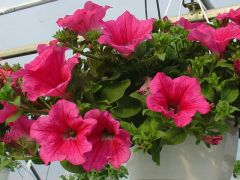 Παραγωγή Εποχιακών Φυτών Πετούνια κρεμαστή - hanging petunia  Φυτώρια Κομιτουδης Χάρης