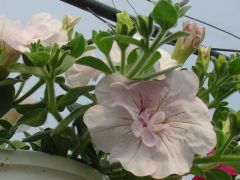 Πετούνια κρεμαστή Ρόζ απαλό