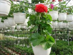 Παραγωγή Εποχιακών Φυτών  Πελαργόνι -Μαστιχιά-Βαμβακούλα - Pelargonium peltatum Φυτώρια Κομιτουδης Χάρης