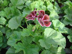 Παραγωγή Εποχιακών Φυτών Πελαργονι - Μαυρομάτα - Pelargonium Grandiflorum Φυτώρια Κομιτουδης Χάρης