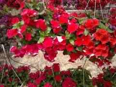 Παραγωγή Εποχιακών Φυτών Βίνκα - Vinka -Catharanthus