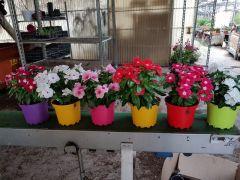 Παραγωγή Εποχιακών Φυτών Βίνκα - Vinka -Catharanthus Φυτώρια Κομιτουδης Χάρης