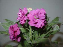 Παραγωγή Εποχιακών Φυτών  Βιολέτα - Matthiola Φυτώρια Κομιτουδης Χάρης