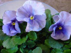 Παραγωγή Εποχιακών Φυτών Πανσές - Pansy Φυτώρια Κομιτουδης Χάρης