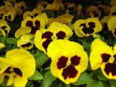 Pansy Πανσές Κίτρινο με μαύρο μάτι Είναι διαθέσιμο