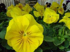 Pansy Πανσές Κίτρινο σκέτο Είναι διαθέσιμο