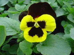 Pansy Πανσές Τρίχρωμο Κόκκινο- Κίτρινο με μαύρο μάτι
