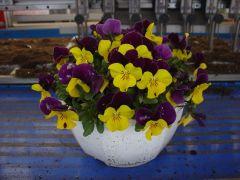 Παραγωγή Εποχιακών Φυτών ΠΑΝΣΕΣ (ΙΑ) - VIOLA Φυτώρια Κομιτουδης Χάρης