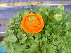 Ranunculus Νεραγκούλα