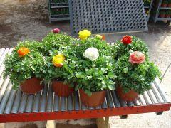 Παραγωγή Εποχιακών Φυτών Νεραγκούλα - Ranunculus Φυτώρια Κομιτουδης Χάρης