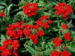 Παραγωγή Εποχιακών Φυτών  Βερβένα - Verbena