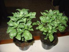 Παραγωγή Εποχιακών Φυτών ΒΑΣΙΛΙΚΟΣ ΠΟΛΥΕΤΗΣ - ΑΓΙΟΡΙΤΙΚΟΣ - BASILIKUM