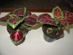 Παραγωγή Εποχιακών Φυτών  ΩΡΑΙΟΦΥΛΛΟ - COLEUS Φυτώρια Κομιτουδης Χάρης