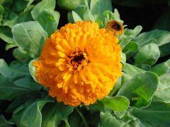 Παραγωγή Εποχιακών Φυτών ΚΑΛΕΝΤΟΥΛΑ - Calendula Φυτώρια Κομιτουδης Χάρης
