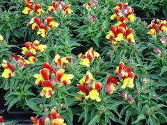 Παραγωγή Εποχιακών Φυτών ΣΚΥΛΑΚΙ - Antirrhinum Φυτώρια Κομιτουδης Χάρης