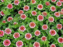 Παραγωγή Εποχιακών Φυτών ΖΙΝΝΙΑ - Zinnia Φυτώρια Κομιτουδης Χάρης