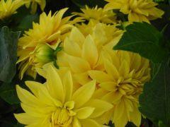 Παραγωγή Εποχιακών Φυτών ΝΤΑΛΙΑ - Dahlia Φυτώρια Κομιτουδης Χάρης