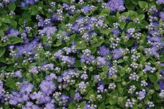 Παραγωγή Εποχιακών Φυτών Αγήρατο - Ageratum houstorianum Φυτώρια Κομιτουδης Χάρης