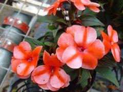 Παραγωγή Εποχιακών Φυτών ΕΡΩΤΑΣ Ν. ΓΟΥΙΝΕΑΣ - Impatiens  New Guinea Φυτώρια Κομιτουδης Χάρης