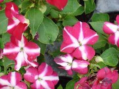 Παραγωγή Εποχιακών Φυτών ΕΡΩΤΑΣ ΑΠΛΟΣ (IMPATIENS) - Impatiens walleriana Φυτώρια Κομιτουδης Χάρης