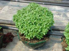 Παραγωγή Εποχιακών Φυτών ΒΑΣΙΛΙΚΟΣ ΜΠΑΛΑ - Basilikum Φυτώρια Κομιτουδης Χάρης