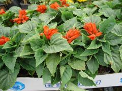 Παραγωγή Εποχιακών Φυτών ΦΛΟΓΑ (ΣΑΛΒΙΑ) - Salvia Φυτώρια Κομιτουδης Χάρης