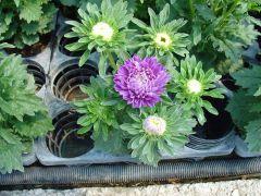 Παραγωγή Εποχιακών Φυτών  ΜΑΡΓΑΡΙΤΑ ΡΕΝ - Callistephus chinensis (Aster) Φυτώρια Κομιτουδης Χάρης