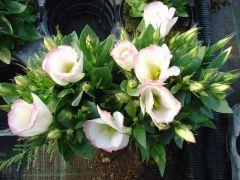 Παραγωγή Εποχιακών Φυτών ΛΥΣΙΑΝΘΟΣ - Lisianthus Φυτώρια Κομιτουδης Χάρης