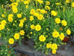 Παραγωγή Εποχιακών Φυτών ΚΟΡΕΟΨΙΣ - Coreopsis Φυτώρια Κομιτουδης Χάρης