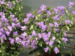 Παραγωγή Εποχιακών Φυτών ΚΑΜΠΑΝΟΥΛΑ Isabella - Campanula  Φυτώρια Κομιτουδης Χάρης