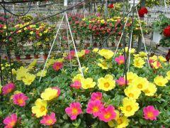 Παραγωγή Εποχιακών Φυτών ΠΟΡΤΟΥΛΑΚΑ - Portulaca Φυτώρια Κομιτουδης Χάρης