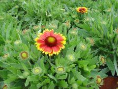 Παραγωγή Εποχιακών Φυτών ΓΚΑΙΛΑΡΝΤΙΑ - Gaillardia Φυτώρια Κομιτουδης Χάρης