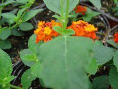 Παραγωγή Εποχιακών Φυτών ΛΑΝΤΑΝΑ - Lantana camara