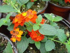 Παραγωγή Εποχιακών Φυτών ΛΑΝΤΑΝΑ - Lantana camara Φυτώρια Κομιτουδης Χάρης